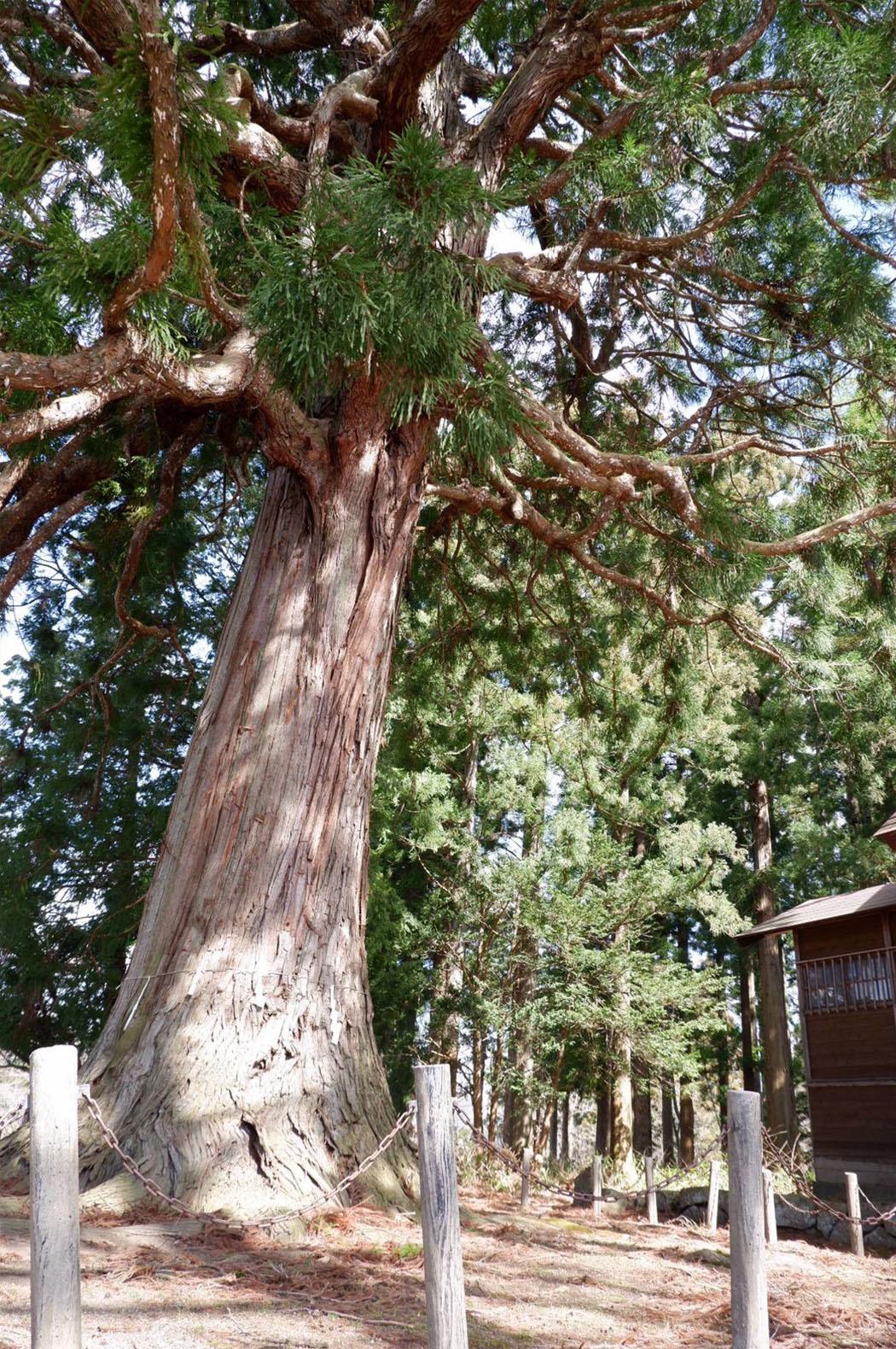 糠部神社の御神木