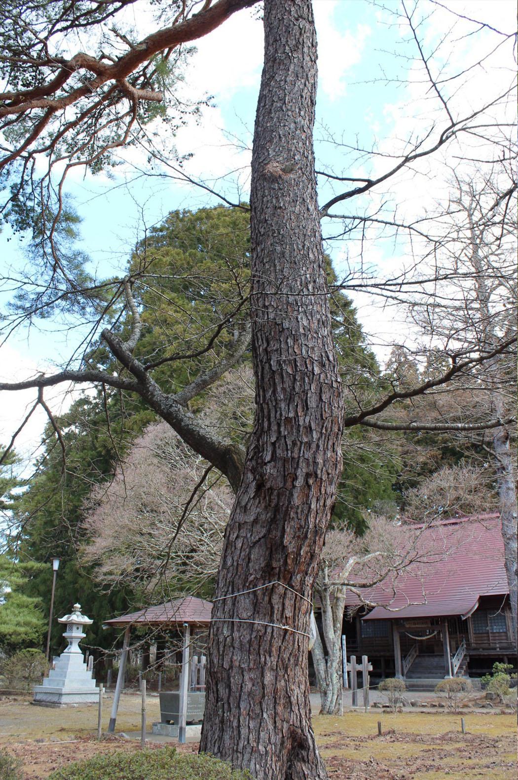 糠部神社の松生桜