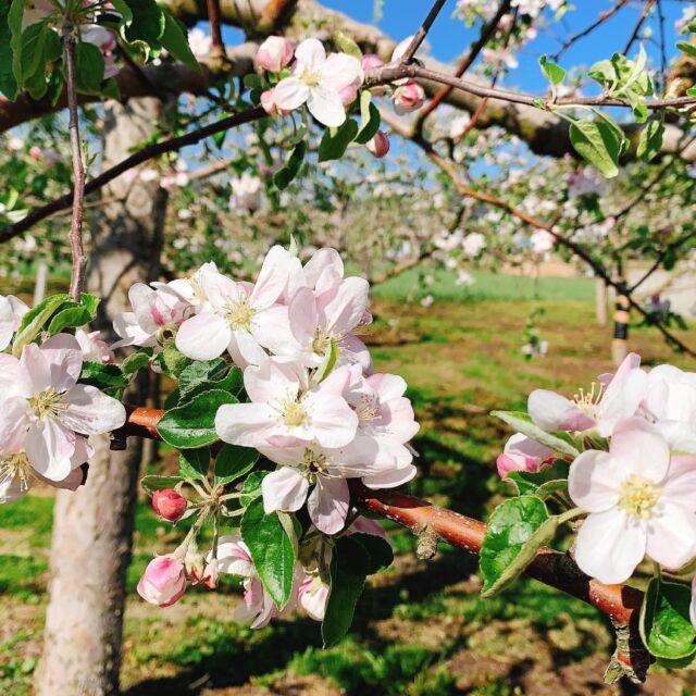桜も散り、GWも終わりましたが、三戸町はりんごの花が満開です。 町の中心地から5〜6分歩くと、360度りんごの花ですよ。 週末はぜひ、りんごの花を見に来てください。  #青森 #三八 #三戸郡 #三戸町  #11ぴきのねこ #11ぴきのねこの町  #りんご #りんごの花  #ローカルメディア  #サンノワ  #非公認三戸町PR大使
