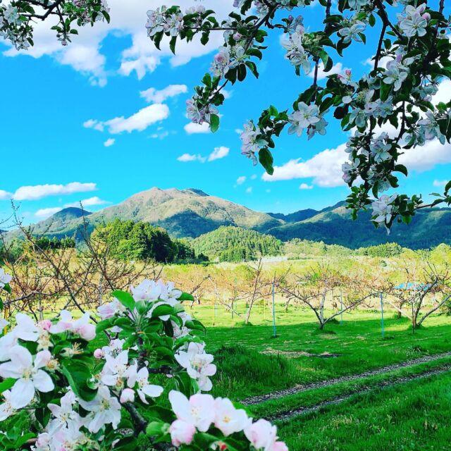 三戸町と南部町のシンボルと言えば、 りんごと名久井岳ですよね。 今の季節のりんご畑に行くと、りんごの花の彩りと優しい香りに包まれます。  #青森 #三八 #三戸郡 #三戸町 #南部町  #11ぴきのねこ #11ぴきのねこの町  #りんご #りんごの花 #名久井岳  #ローカルメディア  #サンノワ  #非公認三戸町PR大使