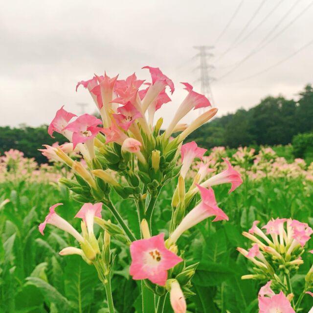 三戸町や田子町特産の葉タバコ。 花が咲いているところを初めて見ました。 花言葉は、 ・困難を乗り越えられる ・あなたがいればさびしくない だそうです。  #青森 #三八 #三戸郡 #田子町  #葉タバコ畑 #葉タバコ農家  #葉タバコ #花言葉  #非公認三戸町pr大使